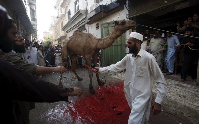 Men prepare to sacrifice a camel after Eid al-Adha prayers on the outskirts of Peshawar, Pakistan September 24, 2015. (Photo by Fayaz Aziz/Reuters)