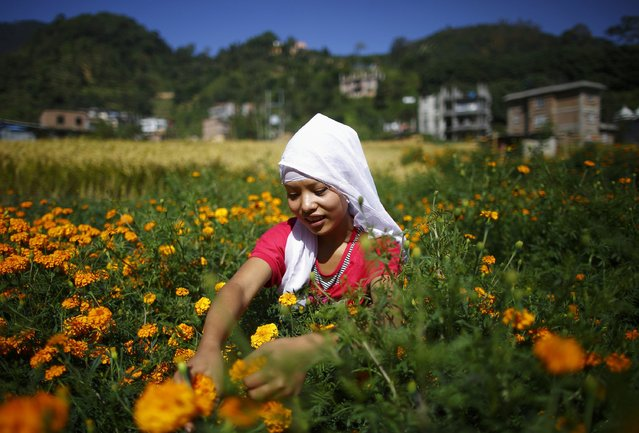A woman picks marigold flowers in the fields before sending them to the market to be made into garlands which will be offered during prayers for the Tihar festival, also known as Diwali, in Kathmandu October 22, 2014. (Photo by Navesh Chitrakar/Reuters)