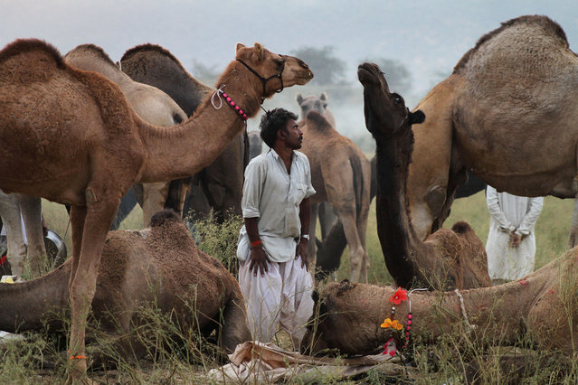A camel herder stands beside resting camels at the annual cattle fair in Pushkar, in the western Indian state of Rajasthan, Wednesday, October 29, 2014. Pushkar, located on the banks of Pushkar Lake, is a popular Hindu pilgrimage spot that is also frequented by foreign tourists who come to the town for the annual cattle fair and camel races. (Photo by Deepak Sharma/AP Photo)