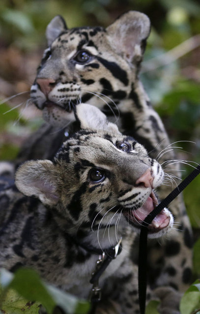 Haui-San, front, a clouded leopard cub, plays with his leash as his brother, Niki-San, looks off in the distance during a garden walk at the San Diego Zoo in California on January 16, 2013. The cubs, both about 5 months old, are undergoing training before they begin interacting with the public. (Photo by Gregory Bull/AP)