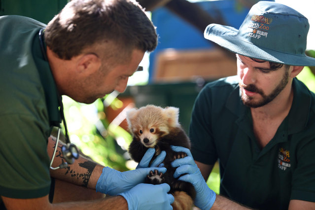 This handout photo taken by Alex Asbury on January 22, 2018 and released to AFP via Perth Zoo on January 24, 2018 shows staff members at the Perth Zoo with a new baby Nepalese red panda in Perth, Western Australia The zoo' s latest red panda was born two months ago to a nine- year- old mother who was also born at the zoo. (Photo by  Alex Asbury/AFP Photo/Perth Zoo)