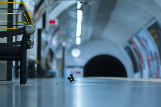 """An image of mice scrapping on a London Underground station platform is the winner of the Wildlife Photographer of the Year LUMIX People's Choice Award, over 48,000 images that were submitted for the 2019 competition. 28,000 nature photography fans voted and Sam Rowley's """"Station squabble"""" emerged as the favorite.  Rowley discovered the best way to photograph the mice inhabiting London's Underground was to lie on the platform and wait. This fight over a crumb of food lasted a split second, and the mice went their separate ways.(Photo by Sam Rowley/Wildlife Photographer of the Year)"""