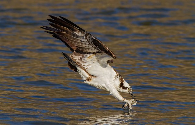 """Osprey just before impact"". I took this photograph near the spillway of Jordan lake dam shortly after the Osprey returned to my area for the 2013 season. Early in the spring, you can find them fishing at the base of the dam. I love photographing wildlife, but have a special place in my heart for any type of raptor. Location: Moncure, North Carolina, USA. (Photo and caption by Brad Lenear/National Geographic Traveler Photo Contest)"