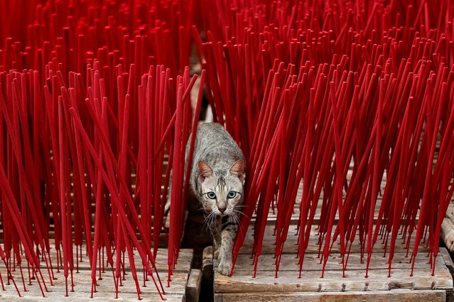 A cat is seen among incense sticks drying at a home industry factory ahead of the Lunar New Year in Tangerang, on the outskirts of Jakarta, Indonesia, February 10, 2021. (Photo by Willy Kurniawan/Reuters)