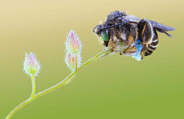 Bee on Forget-me-not. Macropis europaea, Melittidae; Size: 7 mm. (John Hallmén)