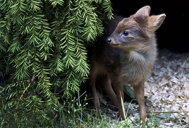 An undated photo provided by the Wildlife Conservation Society shows a newborn Southern pudu, native to Chile and Argentina, a member of the world's smallest deer species, that was born at the Queens Zoo last month in New York. The doe weighed 1 pound at birth. (Photo by Julie Larsen Maher/Wildlife Conservation Society)