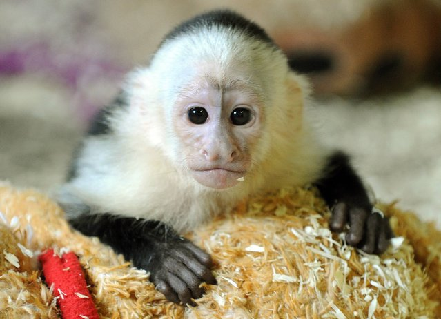 """In this May 31, 2013 file photo Canadian singer Justin Bieber's former pet the capuchin monkey named Mally looks out of its quarantine room at his new home at an animal park near Hodenhagen, northern Germany. German authorities have posted a public notice urging Justin Bieber to get in touch with them about an unpaid bill for his former pet monkey Mally. Bieber failed to produce the necessary vaccination and import papers for the monkey when he arrived for a European tour in March. Mally became the property of the German government in May when the Canadian singer failed to claim his pet. A spokesman for the Federal Agency for Nature Conservation says Bieber has one week to pay 1,130 euros (US dollar 1,500) for the monkey's care. Franz Boehmer said Tuesday, July 30, 2013 that otherwise customs officials """"have ways of making him pay"""" next time he enters Germany. (Photo by Holger Hollemann/AP Photo/DPA)"""