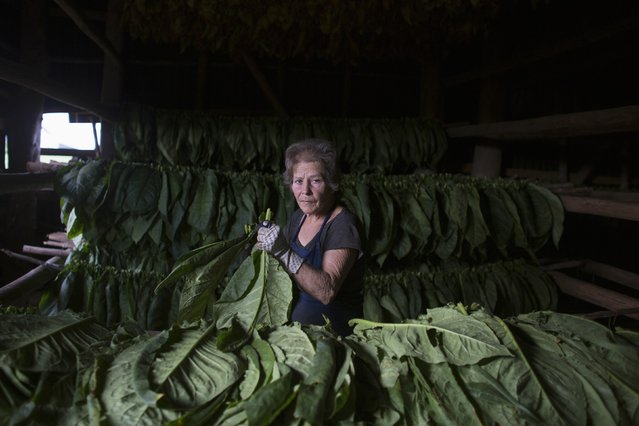 Maria Elena Morejon, 64, prepares tobacco leaves for drying at a curing barn in Cuba's western province of Pinar del Rio, February 16, 2015. Cuba will host the 17th Habanos Festival, the world's premier cigar event, from February 23 to 27. (Photo by Alexandre Meneghini/Reuters)
