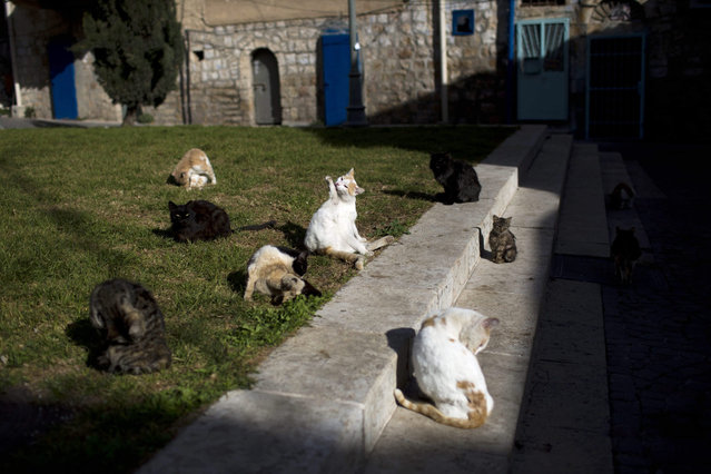 Street cats clean themselves after eating in central Jerusalem, Israel, 07 January 2016. (Photo by Abir Sultan/EPA)