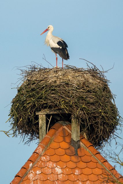 A picture made available on 24 March 2015 shows a stork standing in a nest in Straubing (Bavaria), Germany, 23 March 2015. (Photo by Armin Weigel/EPA)