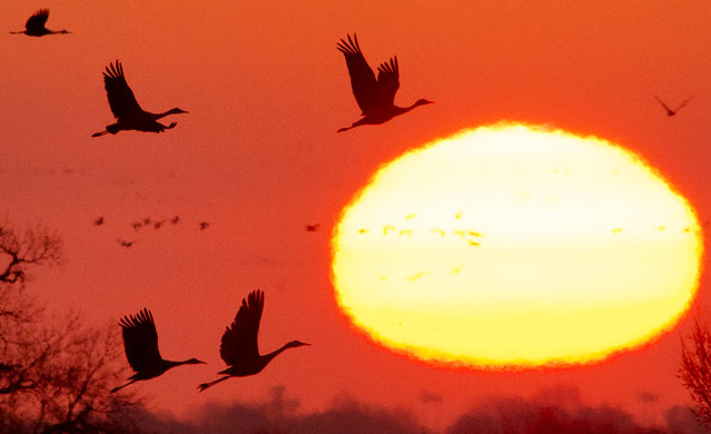 In this March 22, 2015 photo, Sandhill Cranes are silhouetted against the rising sun as they begin departing their morning roosting grounds on the Platte River south of Interstate 80 near Alda, Neb. The Sandhill Cranes are making their annual migration through the Platte River Valley. (Photo by Francis Gardler/AP Photo/The Journal-Star)