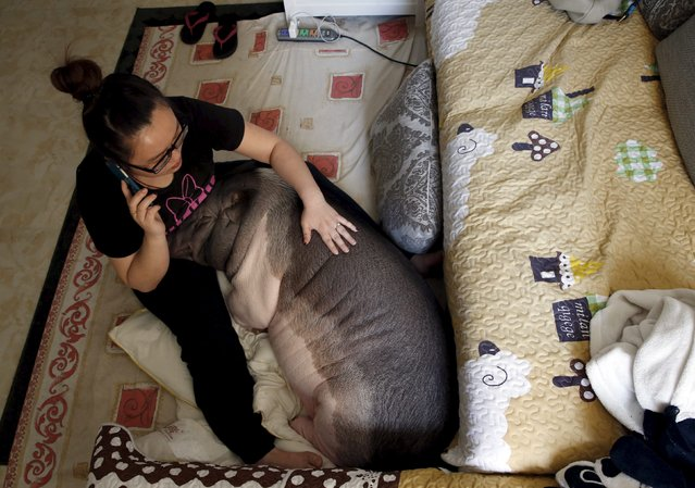 Zhu Roumeng pets her pet pig Wuhua while she talks on her mobile phone, in her house in Beijing April 22, 2015. (Photo by Kim Kyung-Hoon/Reuters)