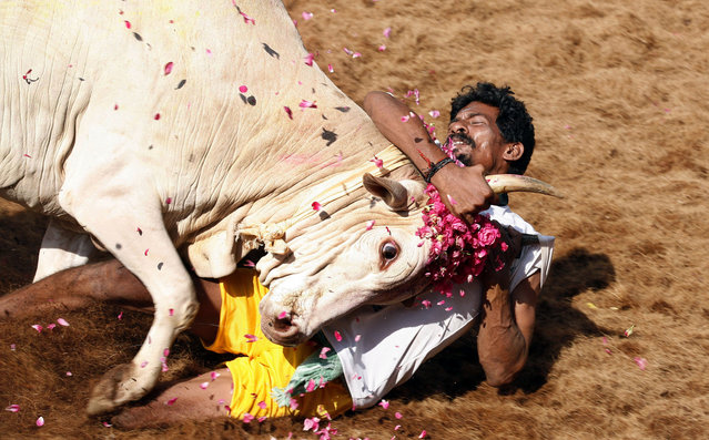 A bull tamers holds a bull by the horn during the bull-taming sport called Jallikattu, in Alanganallur, about 530 kilometers (331 miles) south of Chennai, India, Wednesday, January 16, 2013. Jallikattu is an ancient heroic sporting event of the Tamils played during the harvest festival of Pongal. (Photo by Arun Sankar K./AP Photo)