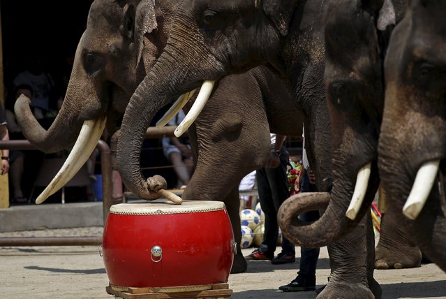 An elephant plays a drum during a show at an elephant training school in Xishuangbanna, Yunnan province, April 18, 2015. (Photo by Wong Campion/Reuters)