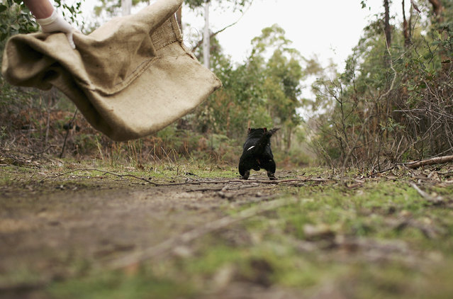 A Tasmanian Devil is released in the wild after being captured to check for signs of the Devil Facial Tumor Disease October 10, 2005 near Fentonbury, Australia.  (Photo by Adam Pretty/Getty Images)
