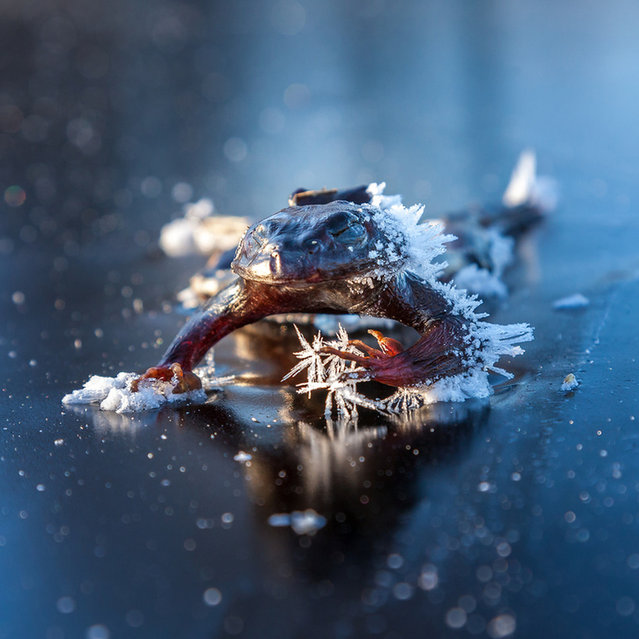 Frozen Frog By Svein Nordrum