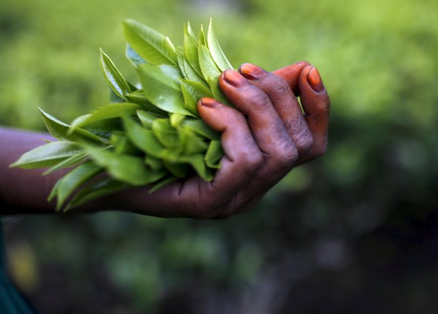 Freshly plucked tea leaves are seen in the hand of a tea garden worker inside Aideobarie Tea Estate in Jorhat in Assam, India, April 21, 2015. (Photo by Ahmad Masood/Reuters)