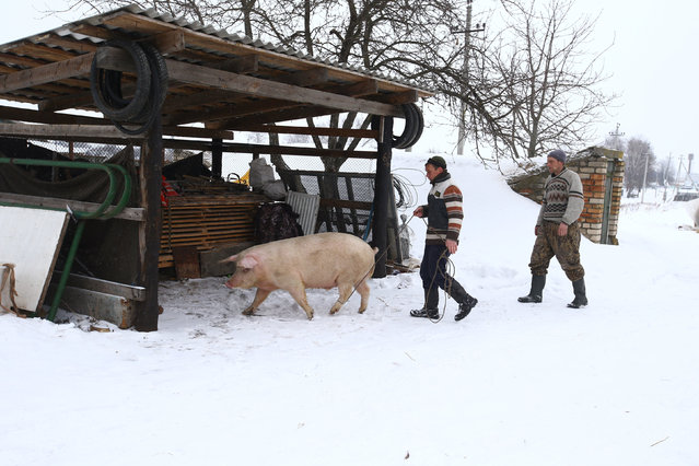 Vladimir Krivenchik and Nikolay Skidan (R), hunters, walk a pig to slaughter, at their house in the village of Khrapkovo, Belarus February 3, 2017. (Photo by Vasily Fedosenko/Reuters)
