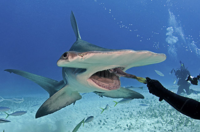 Eli Martinez with hammerhead shark. (Photo by J. P. Zegarra/Caters News)
