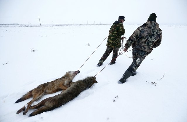 Hunters drag wolves killed in a field outside of the 30 km (19 miles) exclusion zone around the Chernobyl nuclear reactor, near the village of Khrapkov, Belarus, January 27, 2016. (Photo by Vasily Fedosenko/Reuters)
