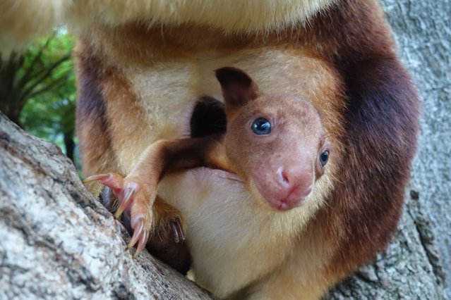 In this handout image provided by Taronga Zoo, an unnamed baby Goodfellows Tree Kangaroo joey is seen in it's mothers pouch on March 8, 2014 in Sydney, Australia. (Photo by Taronga Zoo via Getty Images)