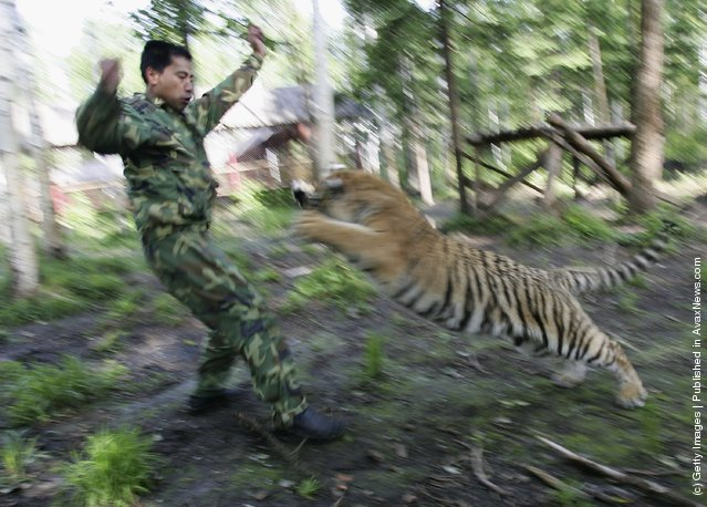 A feeder trains a Siberian tiger cub