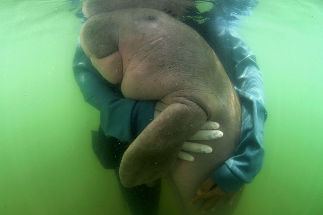 This picture taken on May 24, 2019 shows Mariam the dugong as she is cared for by park officials and veterinarians from the Phuket Marine Biological Centre on Libong island, Trang province in southern Thailand. An orphaned baby dugong rescued off a beach in Krabi province is Thailand's newest star, capturing the hearts of millions on social media and igniting an awarness for ocean conservation as authorities hand-raise the young mammal. (Photo by Sirachai Sirachai Arunrugstichai/AFP Photo)