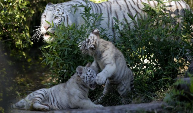 Three month old Bengal white female tigers cubs play inside their cage near Cleo, their mother, at the Buenos Aires Zoo, Argentina, Wednesday, April 16, 2014. Cleo gave birth to the two females and one male cubs on Jan. 16, 2014. (Photo by Natacha Pisarenko/AP Photo)