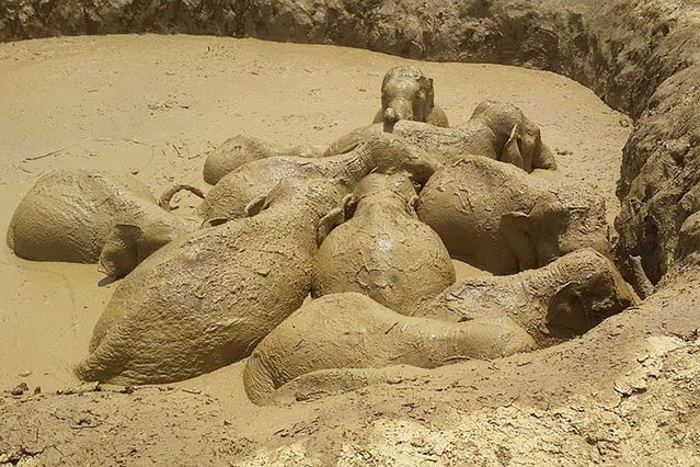 This recent undated handout photographed released on March 25, 2017 by Keo Sopheak, director of Mondulkiri province's environmental office, shows trapped elephants wallowing in a mud-filled bomb crater in eastern Cambodia's Mondulkiri province. Eleven wild elephants, including a baby, were rescued from a mud-filled bomb crater in Cambodia on March 25 after languishing in the swampy waters for four days, an environmental official said. (Photo by Keo Sopheak/AFP Photo/Mondulkiri Province environmental office)