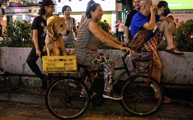 "A woman rides a bike with her dog while watching protesters outside the Mong Kok police station on September 08, 2019 in Hong Kong, China. Pro-democracy protesters have continued demonstrations across Hong Kong despite the withdrawal of a controversial extradition bill as demonstrators call for the city's Chief Executive Carrie Lam to immediately meet the rest of their demands, including an independent inquiry into police brutality, the retraction of the word ""riot"" to describe the rallies, and the right of Hong Kong residents to vote for their own leaders. (Photo by Chris McGrath/Getty Images)"