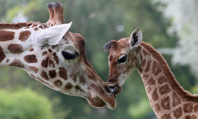 Nine-day-old giraffe Bine licks the nose of its giraffe aunt Andrea at Friedrichsfelde Zoo in Berlin, Germany, Friday, May 9, 2014. The baby giraffe was born on 30 April during opening hours and numerous visitors were able to watch the birth. (Photo by Stephanie Pilick/AP Photo/DPA)