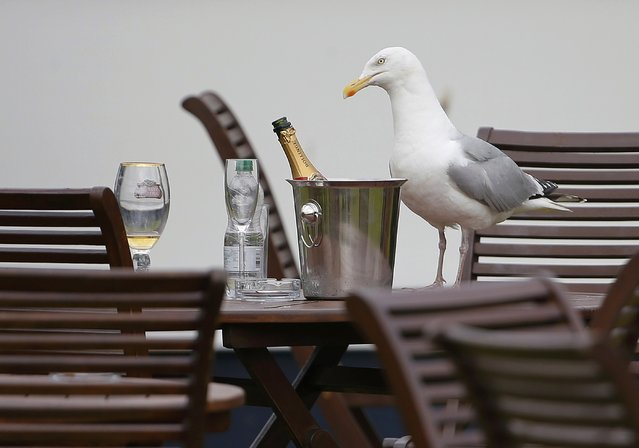 A seagull sits on a table next to a bottle of champagne in a hospitality area during the second round of the British Open golf championship on the Old Course in St. Andrews, Scotland, July 17, 2015. (Photo by Paul Childs/Reuters)