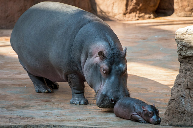 A three-day old female hippopotamus (Hippopotamus amphibius) with her mother are seen in their enclosure at the Africarium in Zoo in Wroclaw, Poland, 24 May 2016. (Photo by Maciej Kulczynski/EPA)