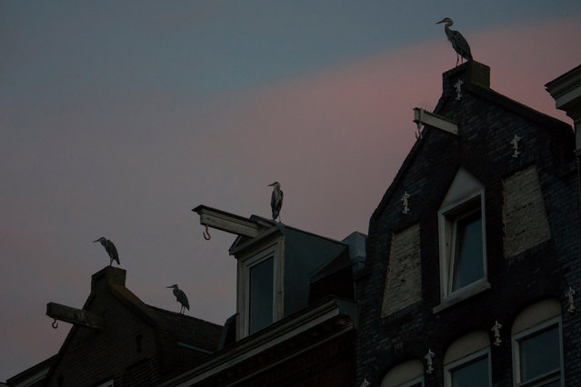 Some residents have even started feeding the herons themselves. (Photo by by Julie Hrudova/The Guardian)