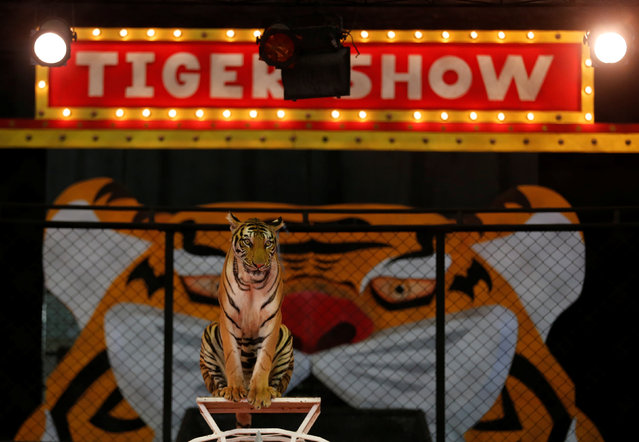 A tiger sits on a fence during a performance for tourists at the Sriracha Tiger Zoo in the Chonburi province, Thailand June 7, 2016. (Photo by Chaiwat Subprasom/Reuters)