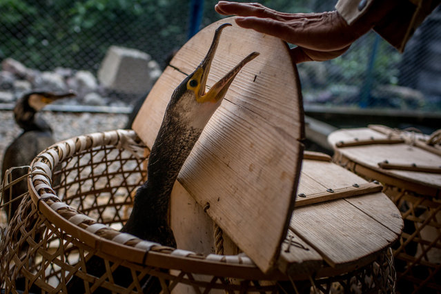 """Cormorant master, Mr. Masahiko Sugiyama places his sea cormorants in baskets to be transported to the fishing boat on July 2, 2014 in Gifu, Japan. In this traditional fishing art """"ukai"""", a cormorant master called """"usho"""" manages cormorants to capture ayu or sweetfish. The ushos of River Nagara have been the official staff of the Imperial Household Agency of Japan since 1890. Currently six imperial fishermen of Nagara River conduct special fishing to contribute to the Imperial family eight times a year, on top of daily fishing from mid-May to mid-October. (Photo by Chris McGrath/Getty Images)"""