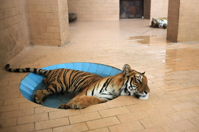 A tiger lays in a pool of water inside a cage at a zoo, during hot and humid weather in Lahore, Pakistan on June 10, 2019. (Photo by Mohsin Raza/Reuters)