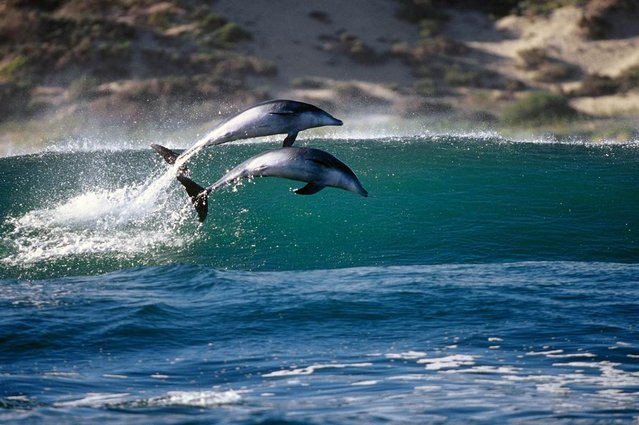 """Huglin has spent his entire career photographing and filming great white sharks, dolphins and other sea creatures, as well as extreme water sports. His trips to South Africa have been major highlights of his life. """"From sunrise to sunset when I'm down there I'm either shooting great whites or I'm chasing dolphins"""", he said"""