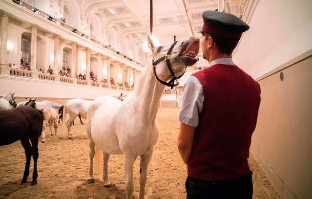 """A horse interacts with a stud master during a program called """"Piber meets Vienna 2017"""" at the famous Spanish Horse Riding School at the Hofburg palace in Vienna, Austria on July 5, 2017. (Photo by  Joe Klamar/AFP Photo)"""