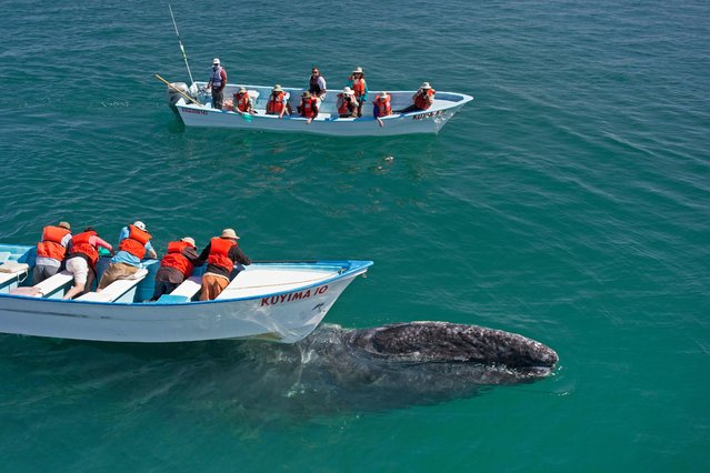 A grey whale swims under a boat filled with tourists in, Baja California, Mexico, March 2017. (Photo by  Mark Carwardine/Barcroft Images)