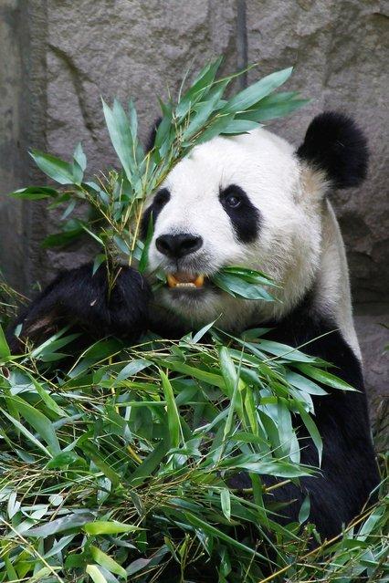 Giant Pandas In Beijing Zoo