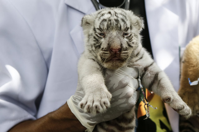 A veterinarian handles a new born Bengal tiger cub at Bali Zoo on August 12, 2015 in Gianyar, Bali, Indonesia. (Photo by Putu Sayoga/Getty Images)