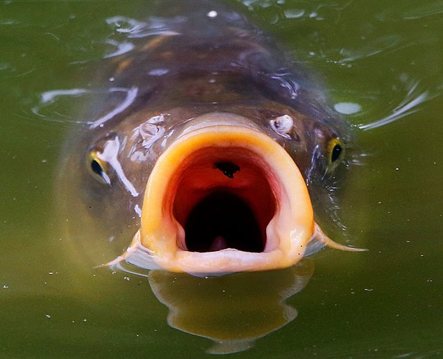 A carp swims on the surface of a pond in the Palmengarten park in Frankfurt, Germany, Monday, August 14, 2017. (Photo by Michael Probst/AP Photo)