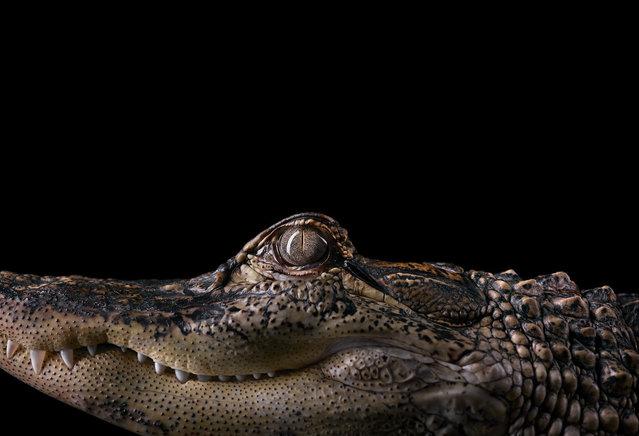 Alligator. (Photo by Brad Wilson)