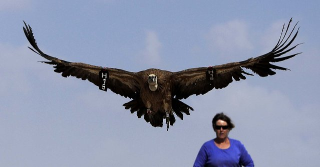 A woman watches a released eagle in the southern Negev Desert near Kibbutz Sde Boker on September 10, 2012. The Society for the Protection of Nature in Israel trapped 96 eagles in the past days and released them after the birds underwent examination, and each has received a number and a ring. (Photo by Tsafrir Abayov/Associated Press)