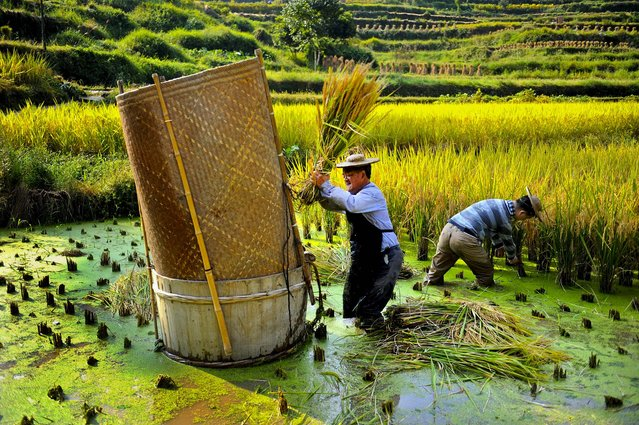 Farmers harvest rice in their paddy field in Qingtian county, in eastern China's Zhejiang province, on September 28, 2012. (Photo by Associated Press)