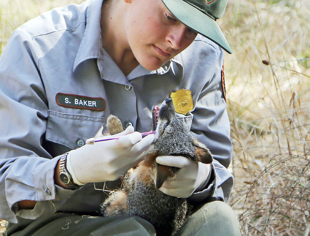 After being trapped for examination, biological science technician Stacy Baker examines an approximately 3-year-old female island fox prior to its release back into the wild on Santa Cruz Island in Channel Islands National Park, Calif., Thursday, August 11, 2016. (Photo by Reed Saxon/AP Photo)