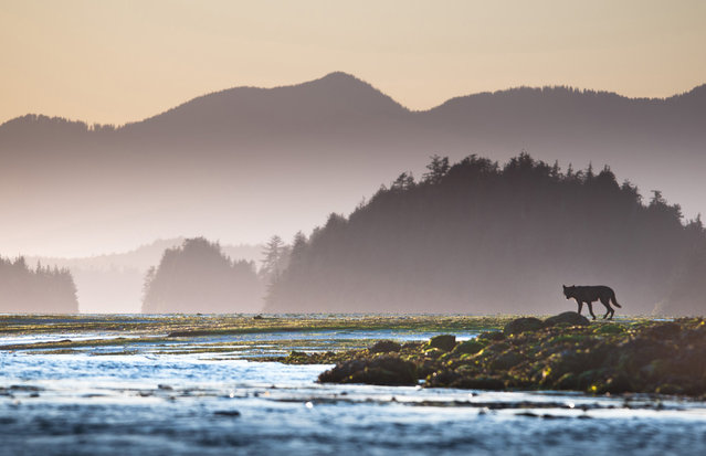 """Pacific Northwest Black Wolf: A black wolf on the mudflats off Meares Island in Clayoquot Sound UNESCO Biosphere Reserve on the remote west coast of Vancouver Island. The photo was taken shortly before sunset from a sea kayak"". (Photo and comment by Sander Jain/National Geographic Photo Contest via The Atlantic)"