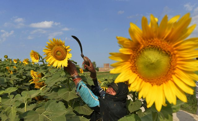 A Pakistani farmer harvests sunflowers in a field in Nankana Sahib on May 17, 2014. According to the federal ministry of national food security and research (economic wing) figures, Pakistans total sunflower acreage stood at 236,001 hectares in 2011-12 with major contribution coming from Sindh  79.9 per cent. (Photo by Arif Ali/AFP Photo)
