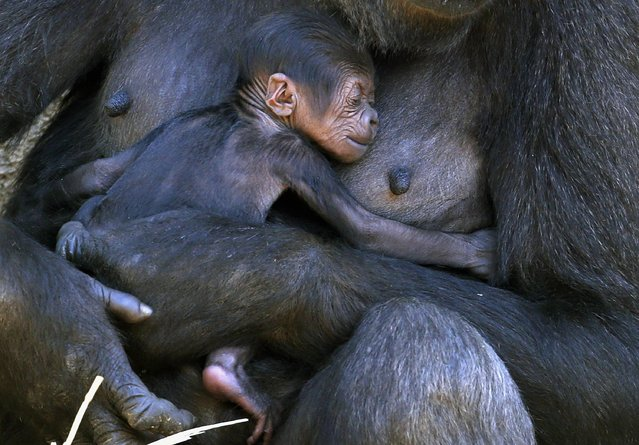 A Western Lowland Gorilla named Mbeli holds her baby in their enclosure at Sydney's Taronga Zoo October 31, 2014. The baby gorilla was born three days ago, and is the first sired by the zoo's new Silverback who arrived from France in 2012. (Photo by David Gray/Reuters)